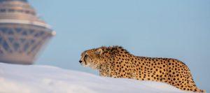 سرگذشت یوزپلنگ آسیایی