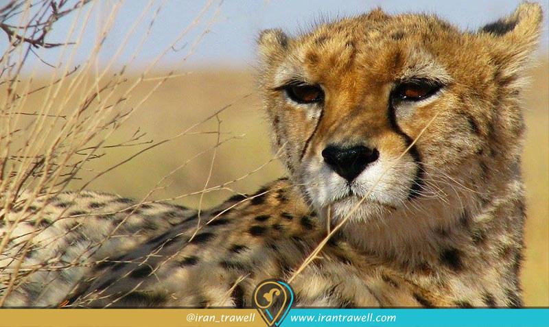 یوزپلنگ آسایی در پارک ملی کویر