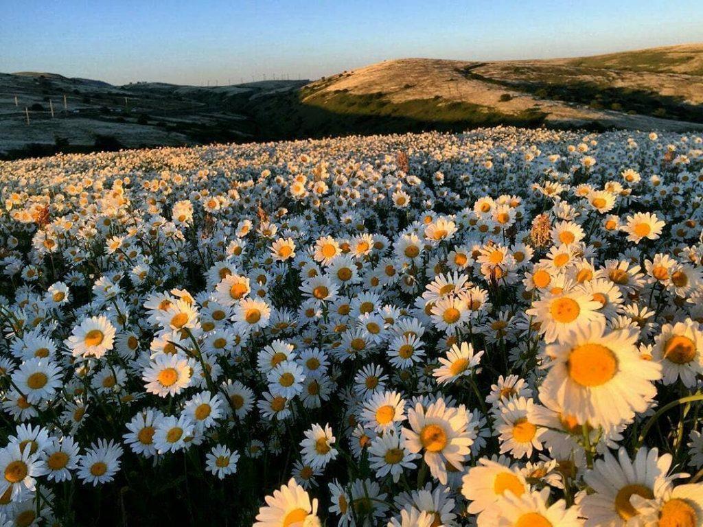 دشت های فندوقلو و گل های بابونه