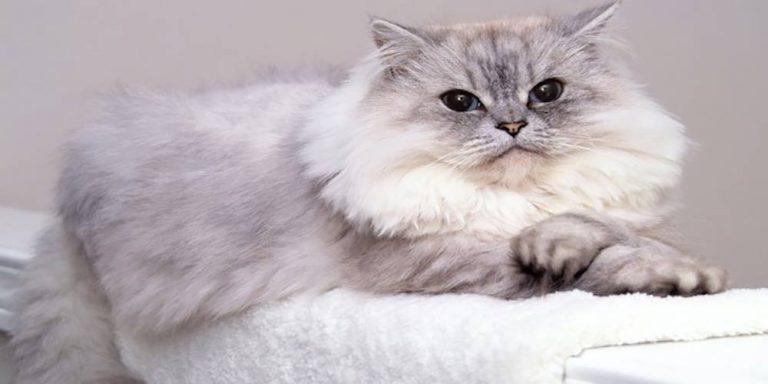 گربه ایرانی و بااصالت