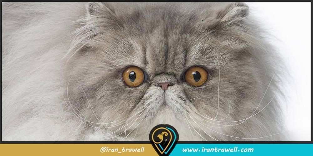 انواع گربه ایرانی