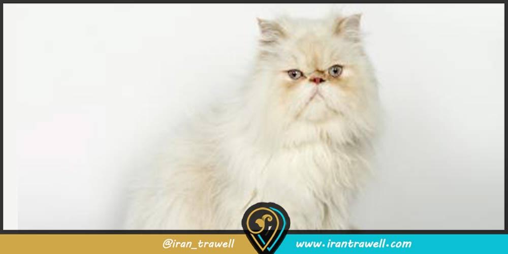 گربه ایرانی بازیگوش