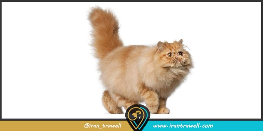 گربه ایرانی زیبا